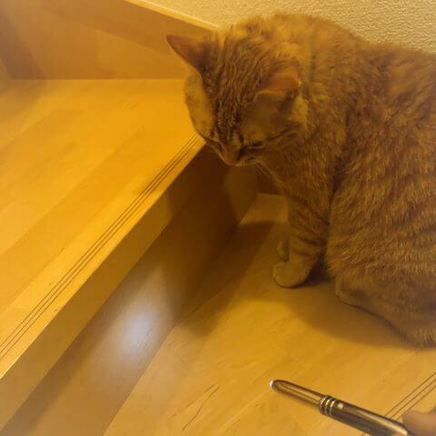 ペンのライトが壁に照らされて気になっている猫