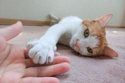 家の中で寝そべりながら飼い主の手を触っている猫