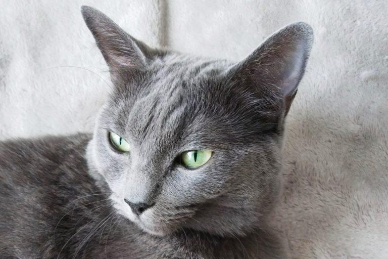 ロシアンブルーとラグドールのミックス猫むぎの画像