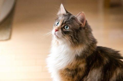 ロングヘアの猫が何かを見つめている様子