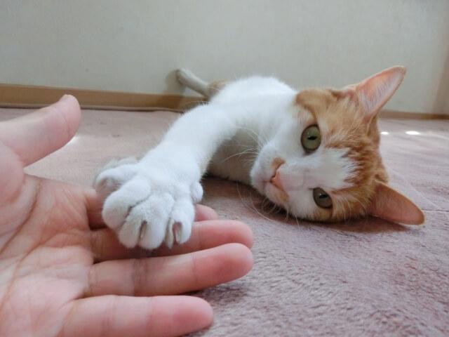 寝そべりながら人の手を触っている三毛猫
