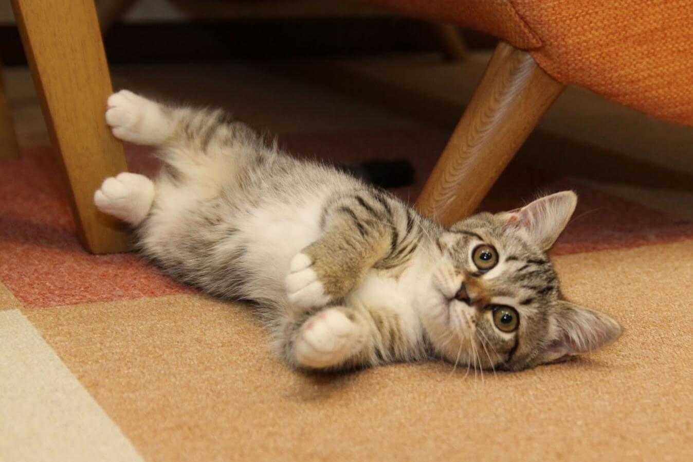 お腹を出してこちらを向いているマンチカンの子猫
